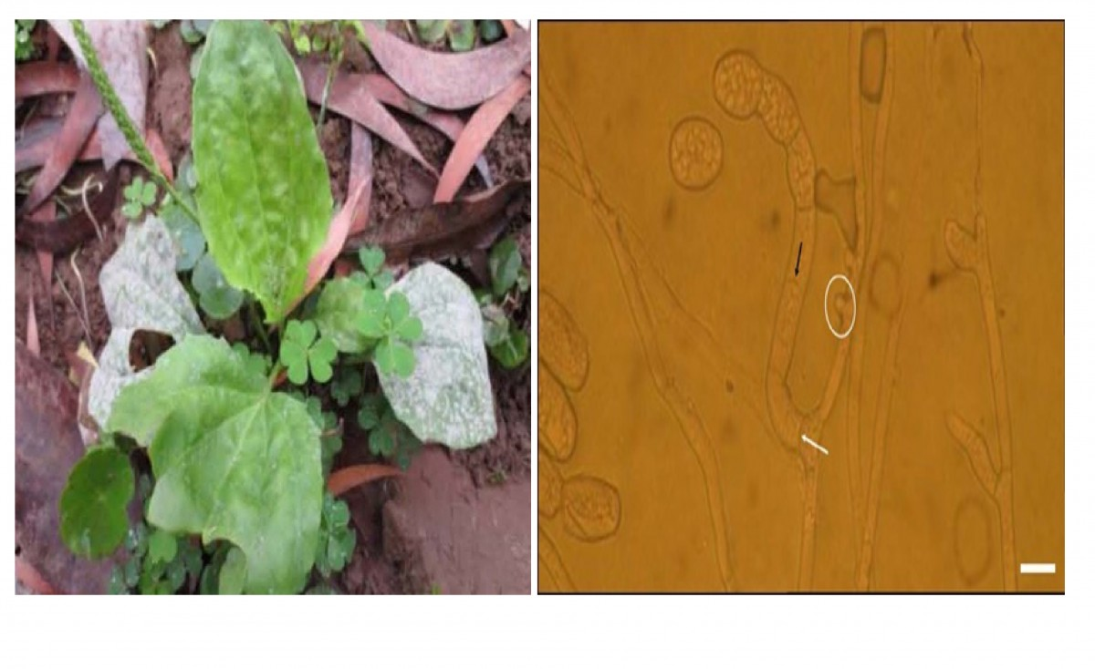 FIRST REPORT OF GOLOVINOMYCES SORDIDUS CAUSING POWDERY MILDEW ON PLANTAIN IN VIETNAM